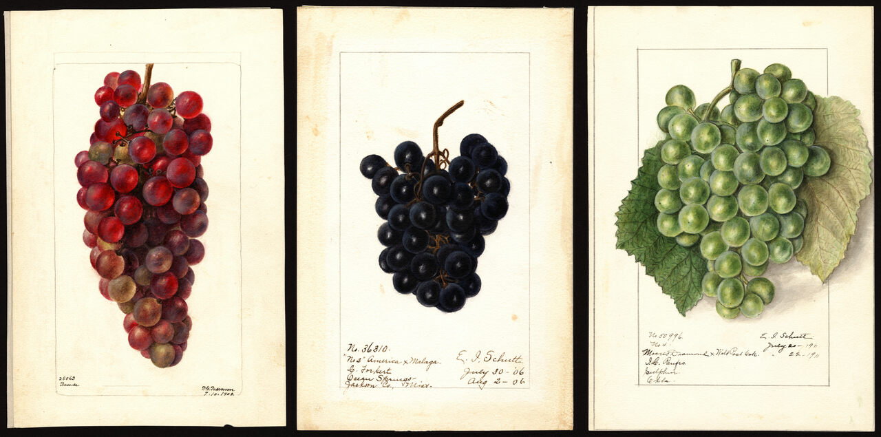Grapes by Deborah G. Passmore (left) and Ellen Isham Schutt (center and right).
