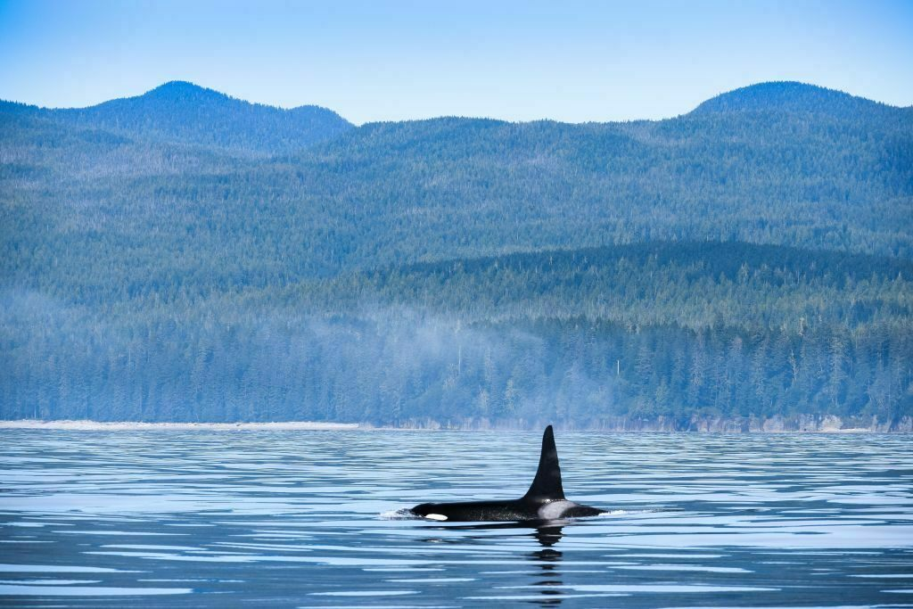 Orcas in the Pacific Northwest, such as this one off Vancouver Island, face numerous risks, including vessel strikes.
