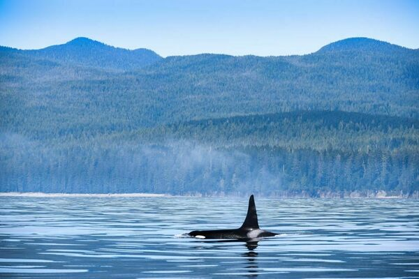 Orca Post-Mortems Tell the Story of a Population Facing Numerous Threats