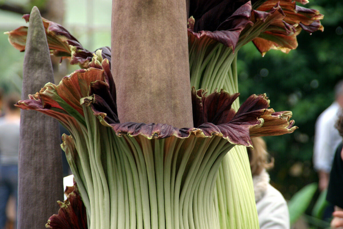 A corpse flower blooming at a botanic garden in Bonn, Germany, in 2006.