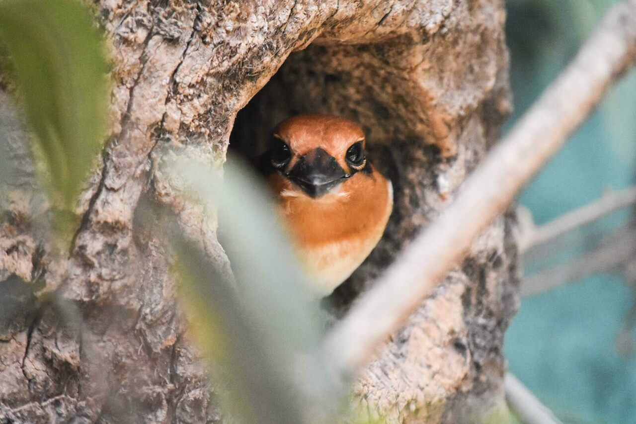 The Micronesian kingfishers hunkered down quite peacefully.