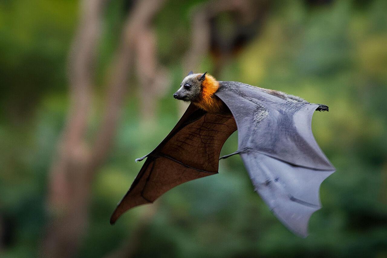 The grey-headed flying fox is a fruit bat native to southeastern Australia.