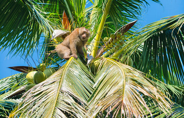 These Money-Making Monkeys Have Jobs Picking Coconuts
