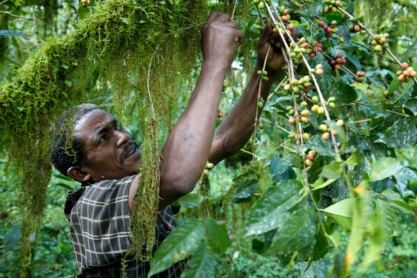 Inside Ethiopia's Endangered Wild-Coffee Forests