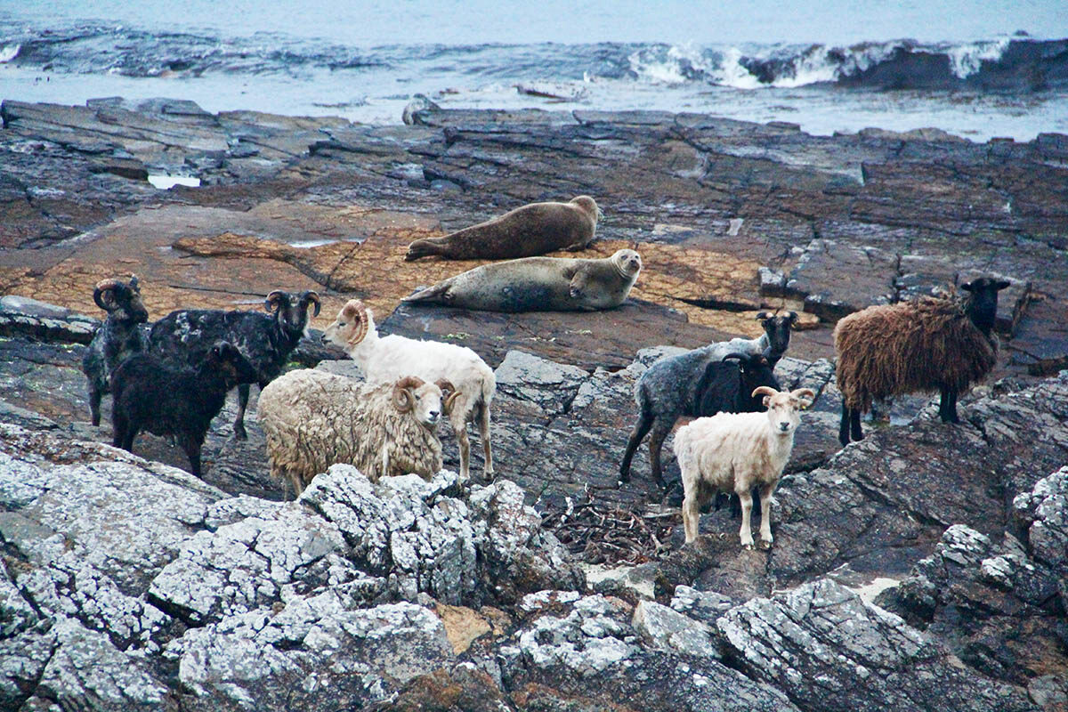 "A fairly unusual sight: Sheep share the shore with seals, known as ""selkies"" in Orcadian dialect."