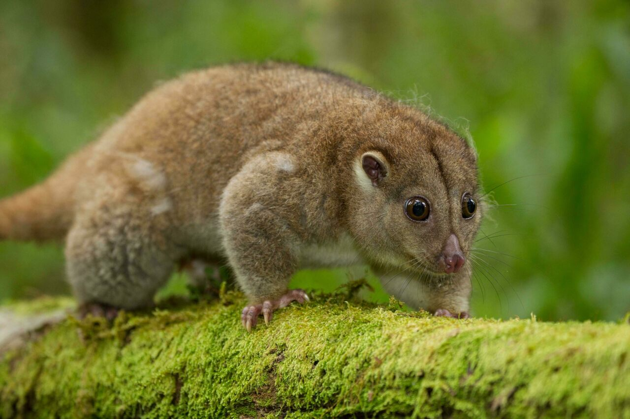 A Northern Common Cuscus in Indonesia's Gunung Mutis Nature Reserve.