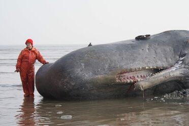Dr. Joy Reidenberg stands next to a sperm whale in 2011.