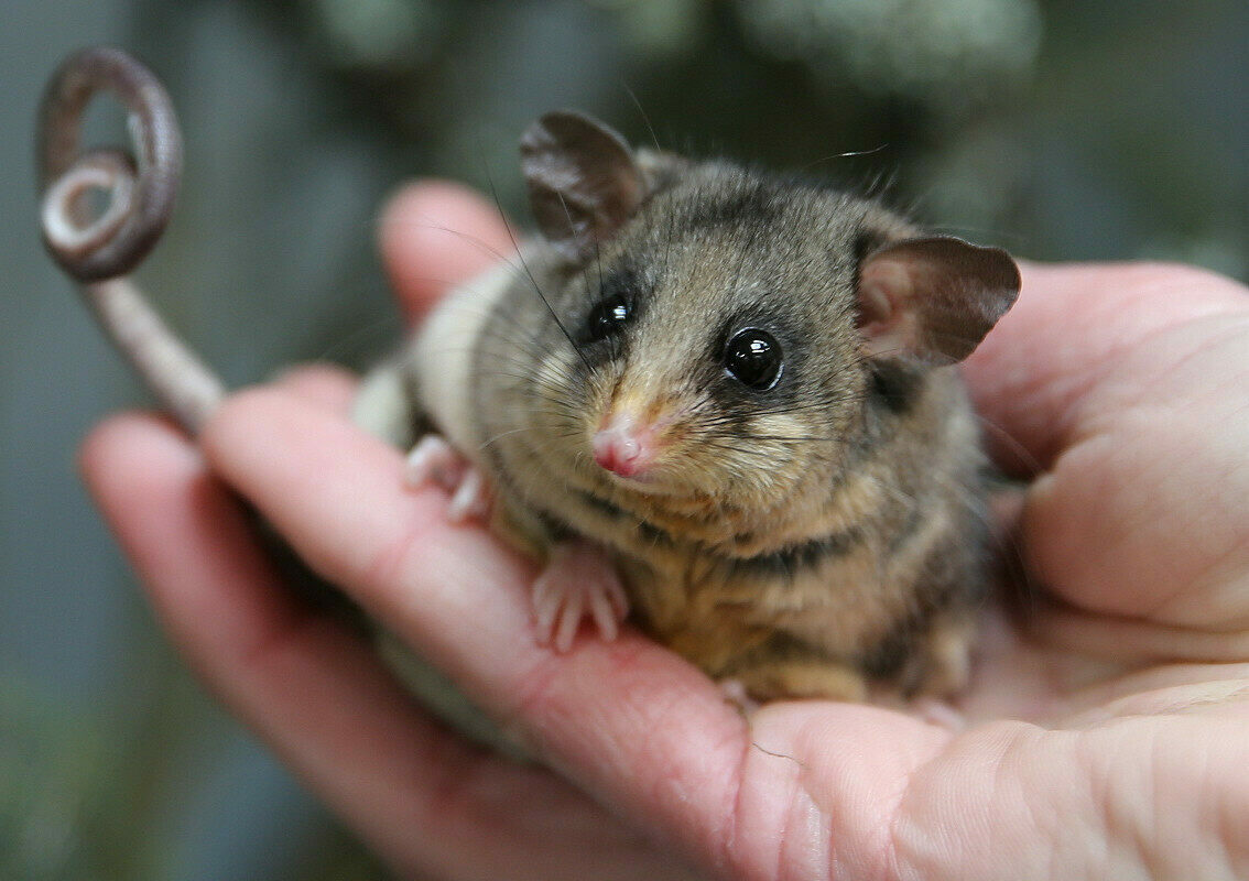 An itty-bitty pygmy-possum with its itty-bitty curled tail.
