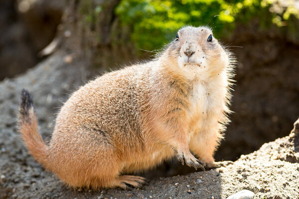Prairie Dogs Don't Eat Meat—So Why Are They Serially Killing Squirrels?