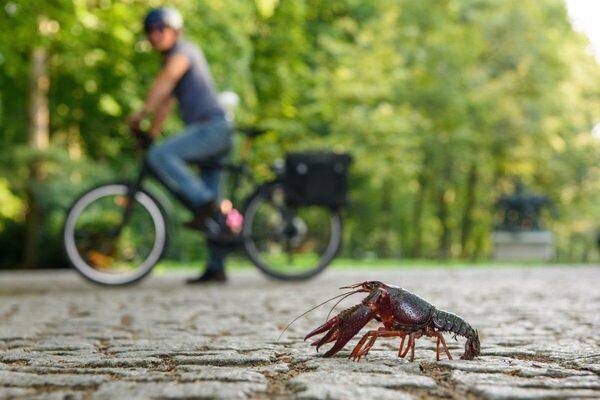Louisiana Crayfish Are Invading Berlin