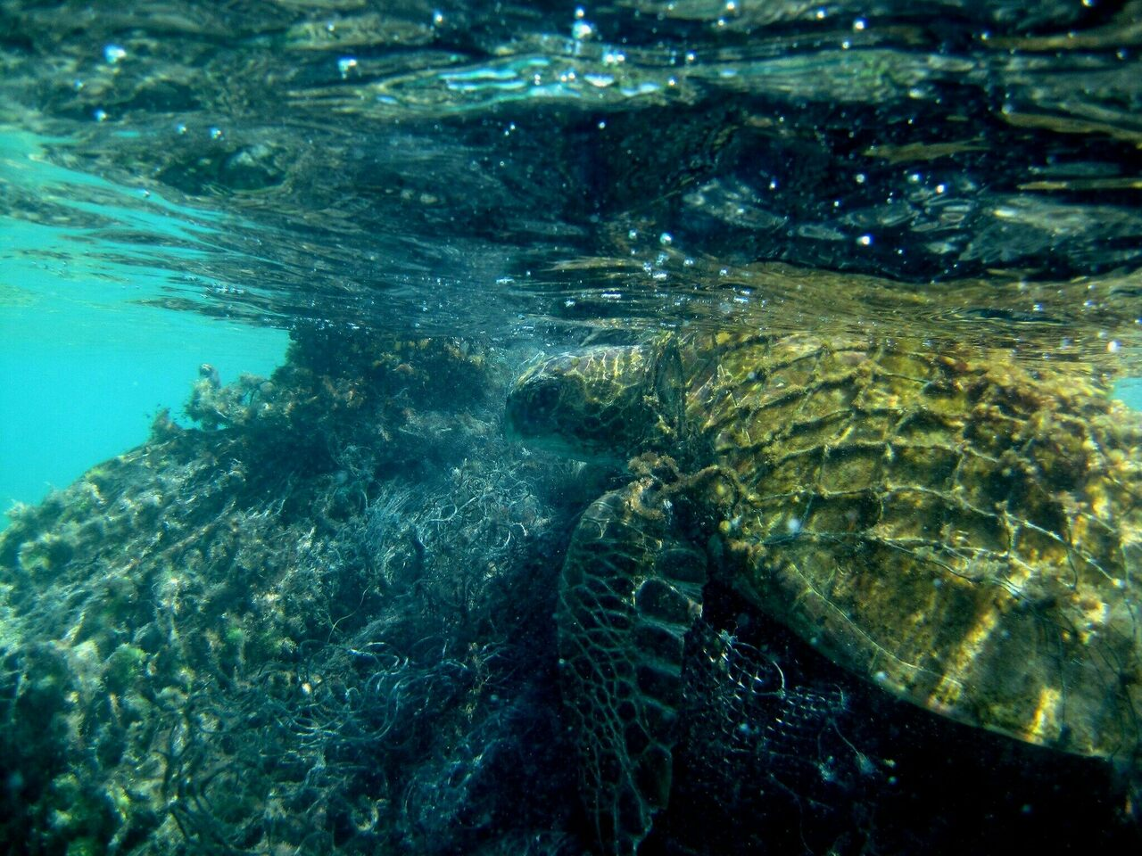 A green sea turtle, tangled in a ghost net in 2014.