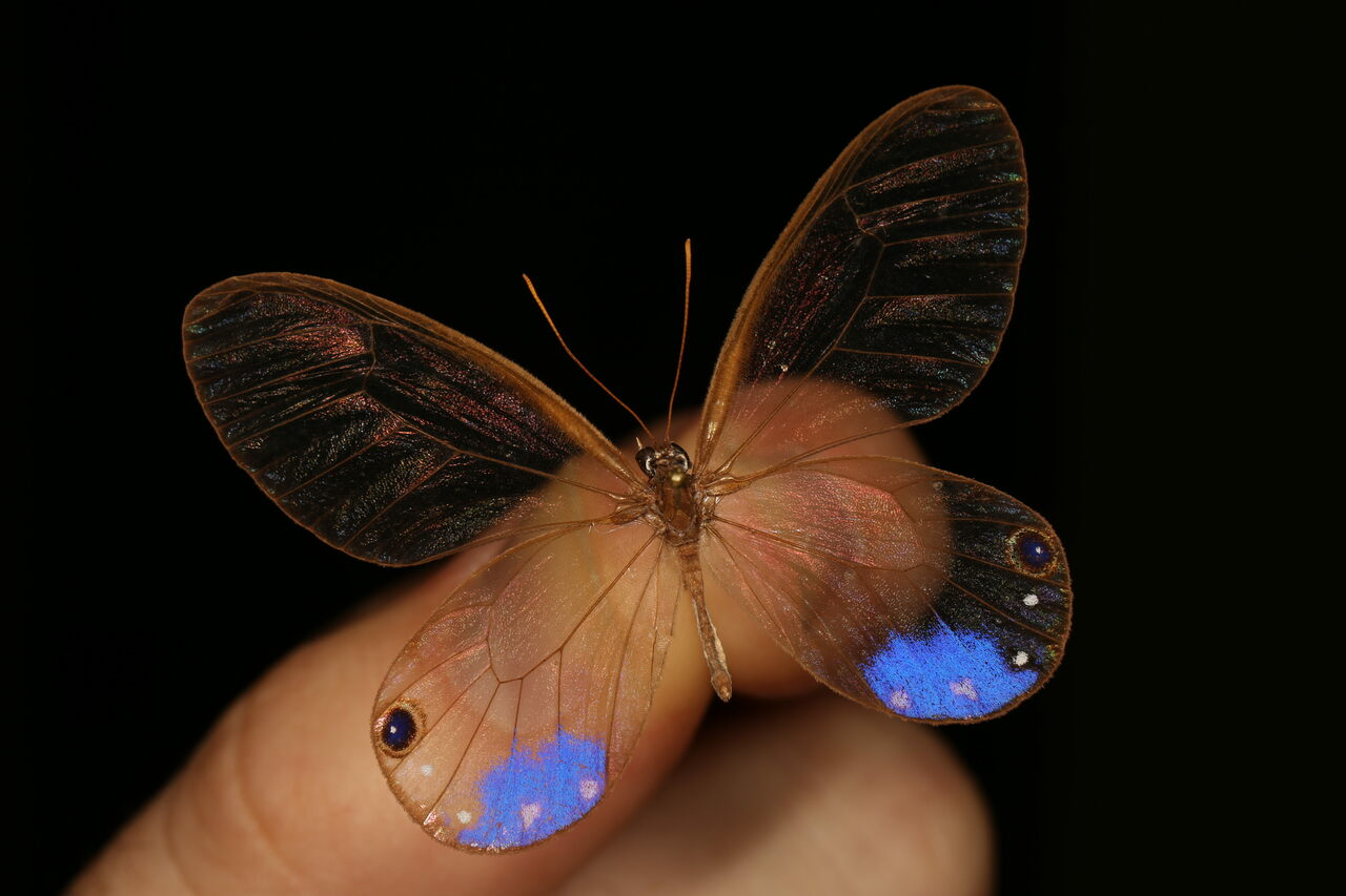 Several adaptations make the wings of some butterflies, such as this <em>Cithaerias esmeralda</em>, clear.