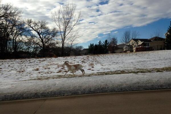 Rogue Goat Frolics Around Iowa