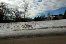Fleeting Wonders: Escaped Goat Frolics All Over Iowa