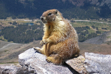 A yellow-bellied marmot sits alone on a rock.