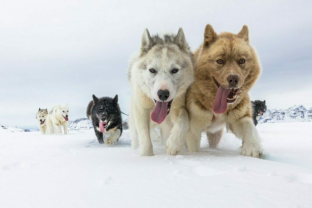Furry, four-legged friends helped humans range across the Arctic.