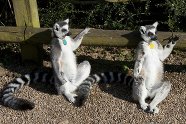 "Lemurs engaged in a unique behavior called ""sun-worshipping."""