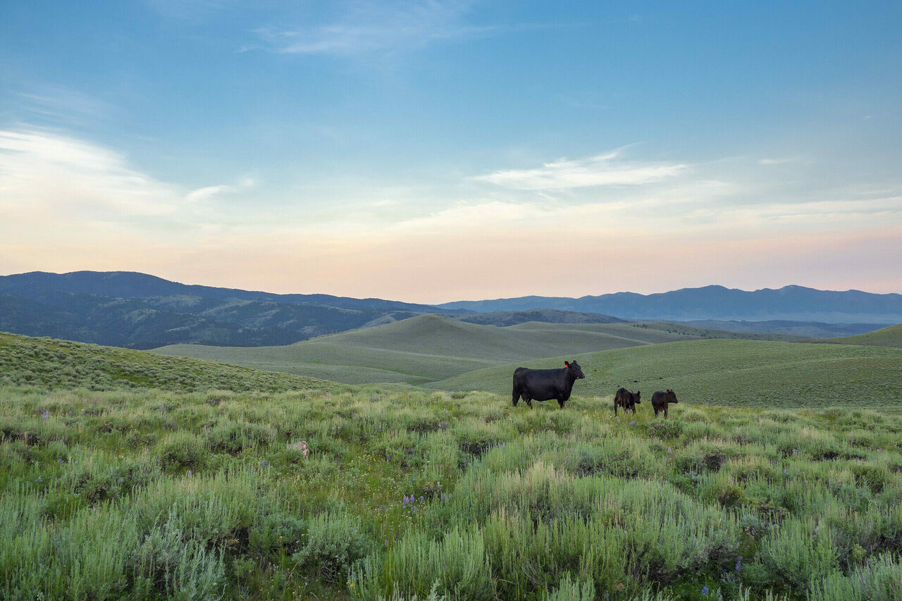 Cattle—like these ones grazing on the Gravelly Mountain Range in the Beaverhead-Deerlodge National Forest—burp a whole lot of methane.