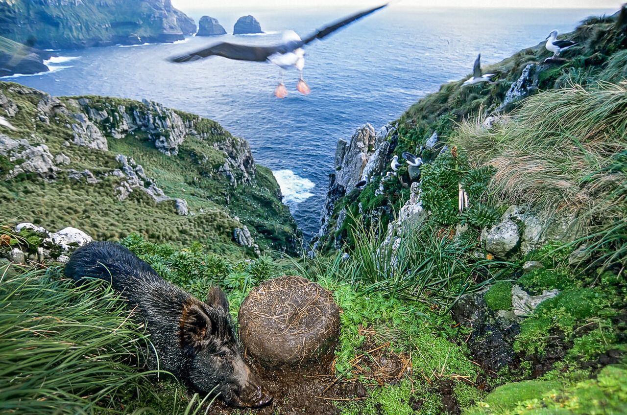 A feral pig messes with the nest of a white-capped albatross on Auckland Island.