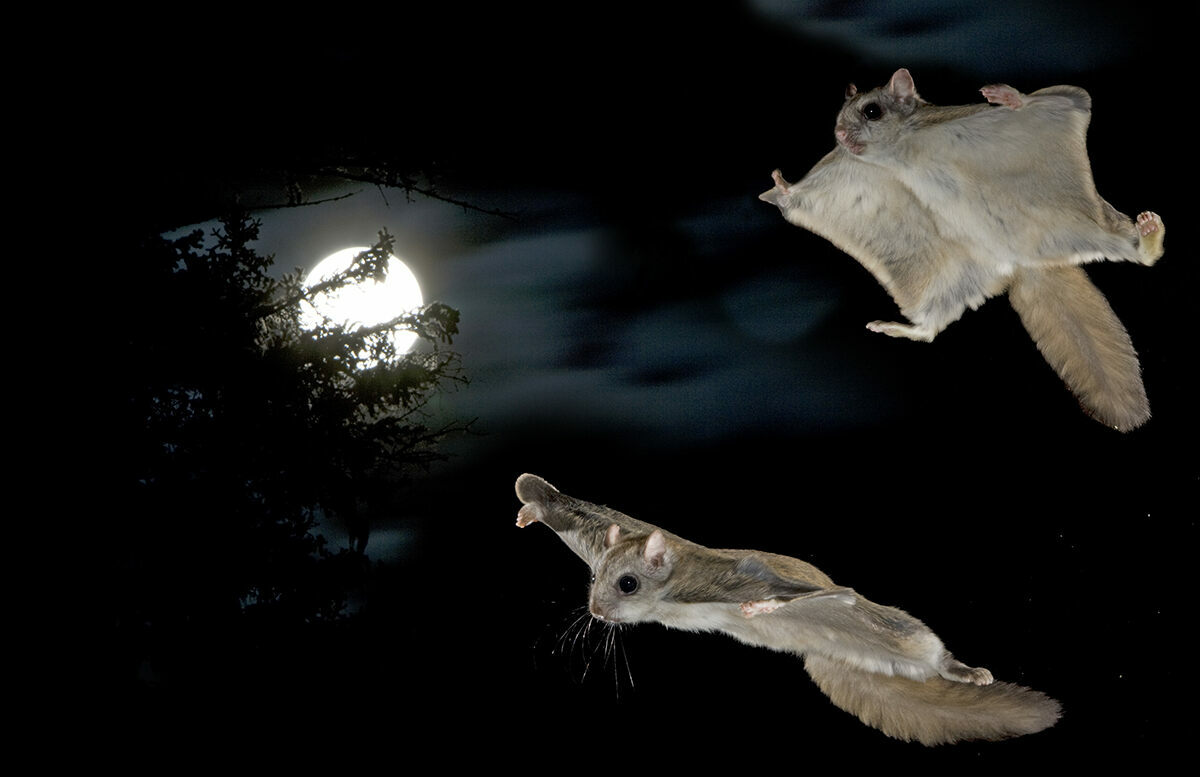 During mating season, flying squirrels engage in dizzying aerial acrobatics far exceeding the routine glides typically observed in the laboratory settings.