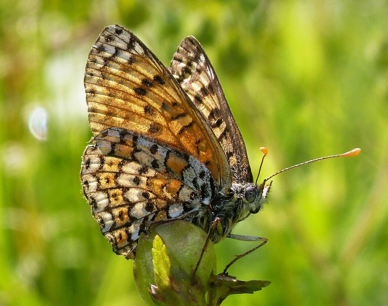 The Glanville fritillary is common throughout most of Europe and parts of northern Africa.