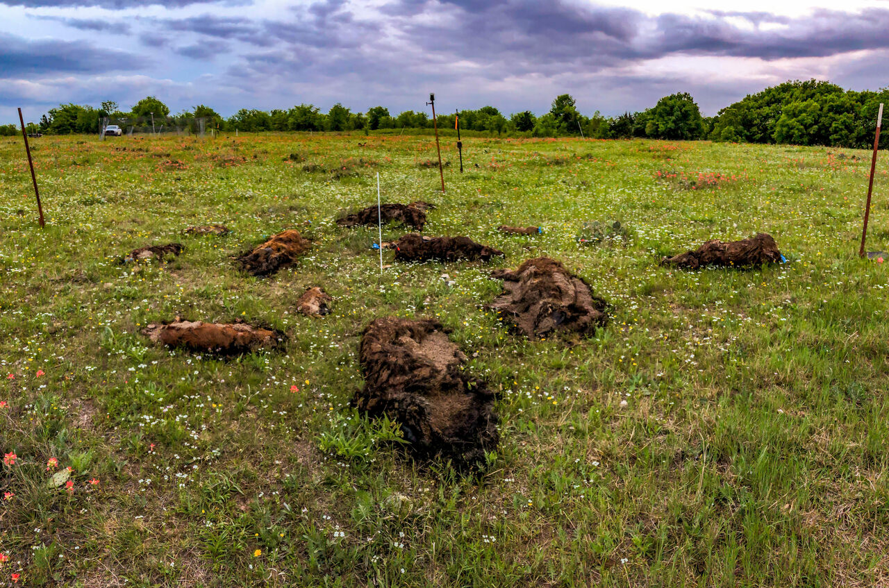 Mass animal die-offs, simulated here in an Oklahoma hog body farm, can negatively impact the surrounding ecosystem.