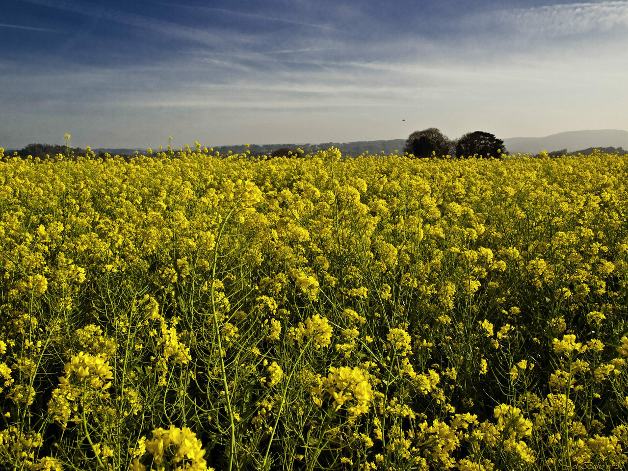 A field of northwestern Spain's beloved grelos is just one of the many permutations of <em>Brassica rapa</em>.