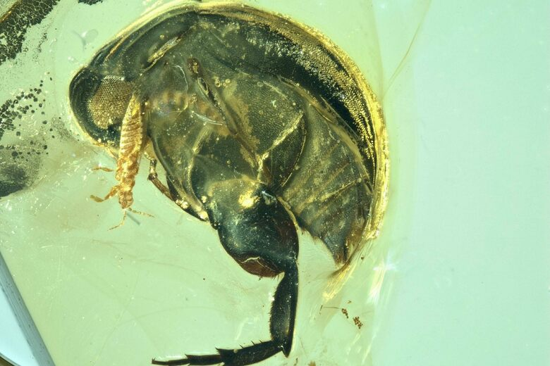 Found: Pollen on a 99-Million-Year-Old Beetle, in Amber