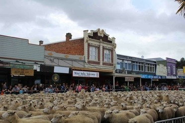 Sheep lined up for the main event.