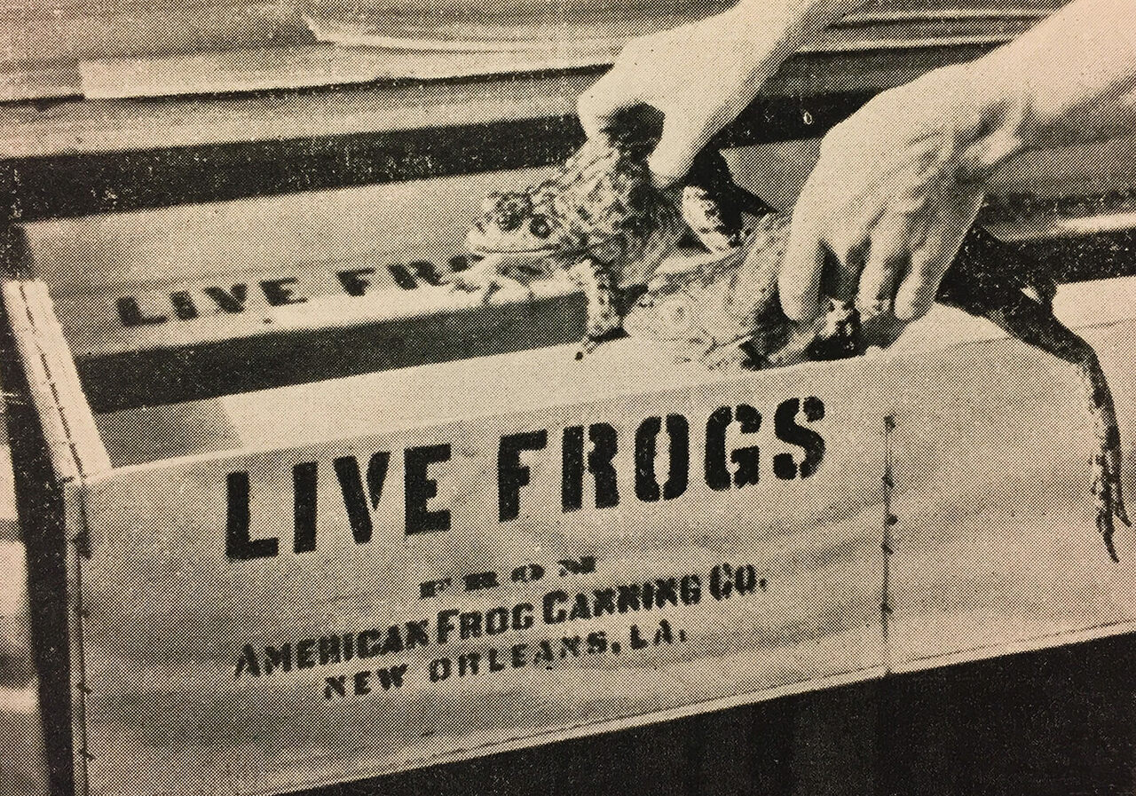 Live frogs, readied for shipment.