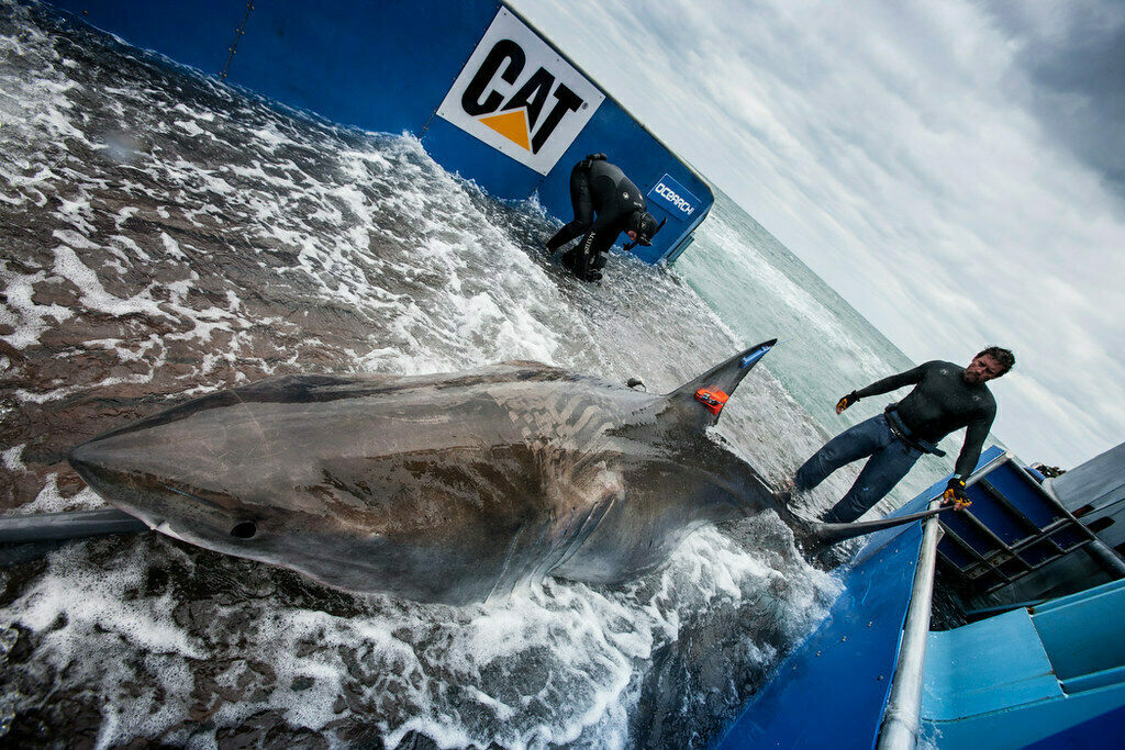 So you want to tag a great white, do you?