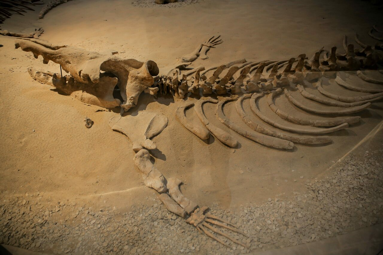 Egypt is home to fossils that include a range of ancient marine animals, such as this early whale from Wadi al-Hitan, southwest of Cairo.