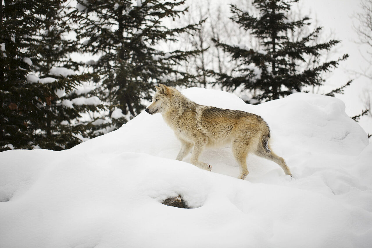 A wolf walking through snow at Asahiyama Zoo in Asahikawa, Hokkaido.