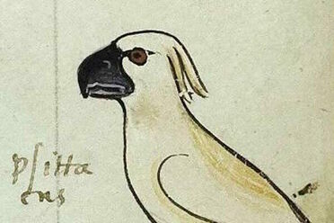 A 13th-century image of a cockatoo, from an Italian book.