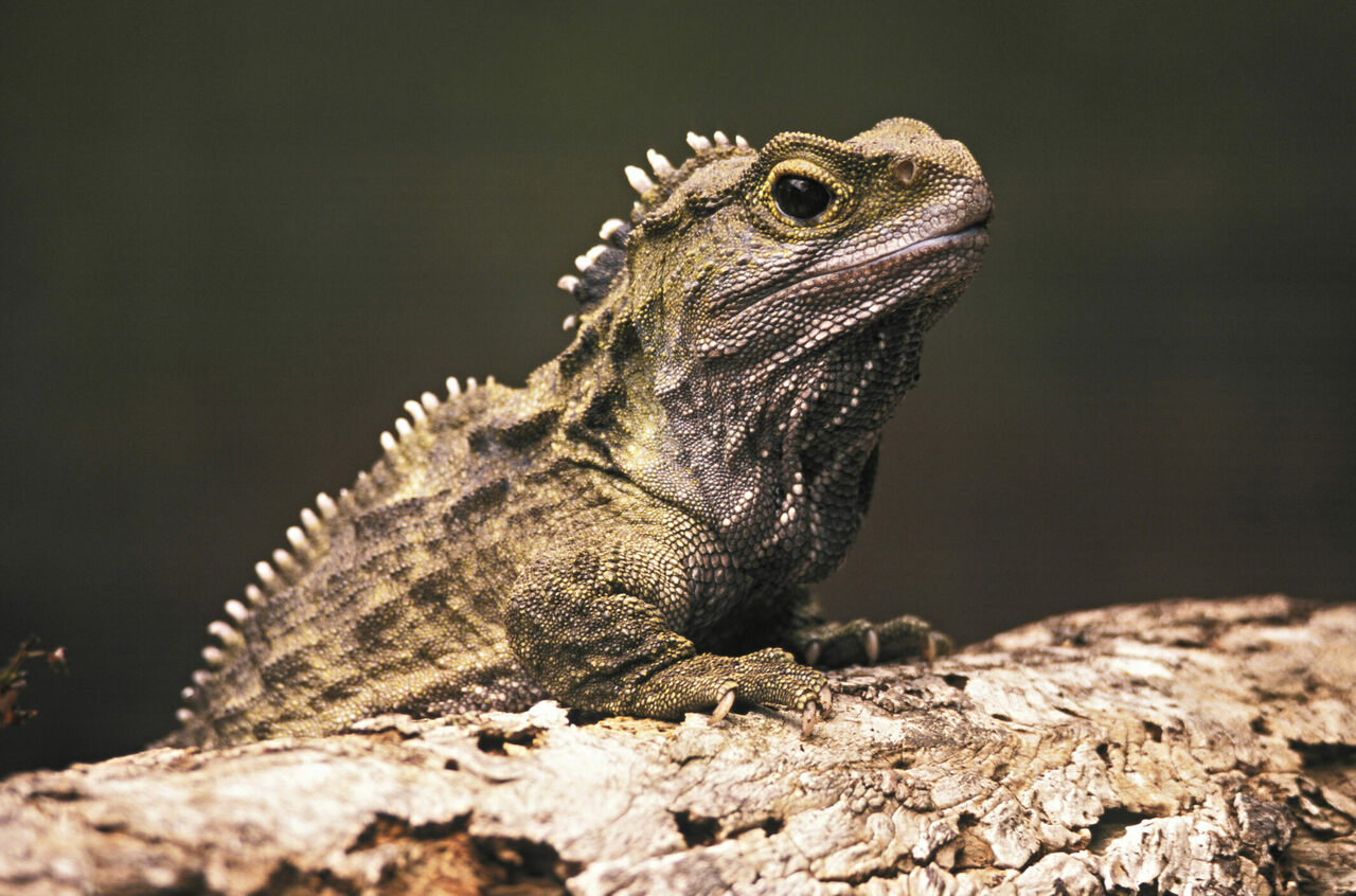 New Zealand's tuatara are the last members of <em>Rhynchocephalia</em>, an order of lizard-like reptiles