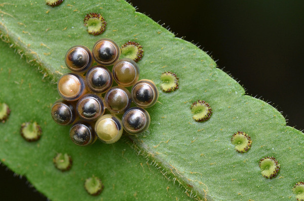 The blobby dazzling world of insect eggs atlas obscura - Identifying insect eggs in the garden ...