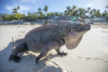 An Allen Cay iguana strolling along the beach.