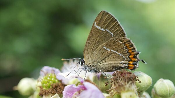 A Butterfly Reappears In Scotland After 133 Years Away