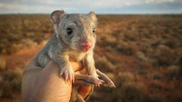 A burrowing bettong, also known as the boodie, in the Australian Outback.