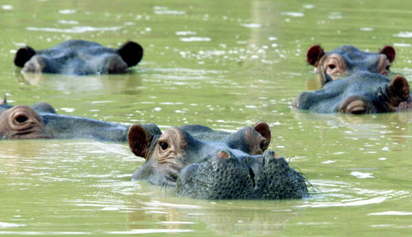 Pablo Escobar's Hippo Herd Is Treating Colombia's Lakes Like One Big Toilet