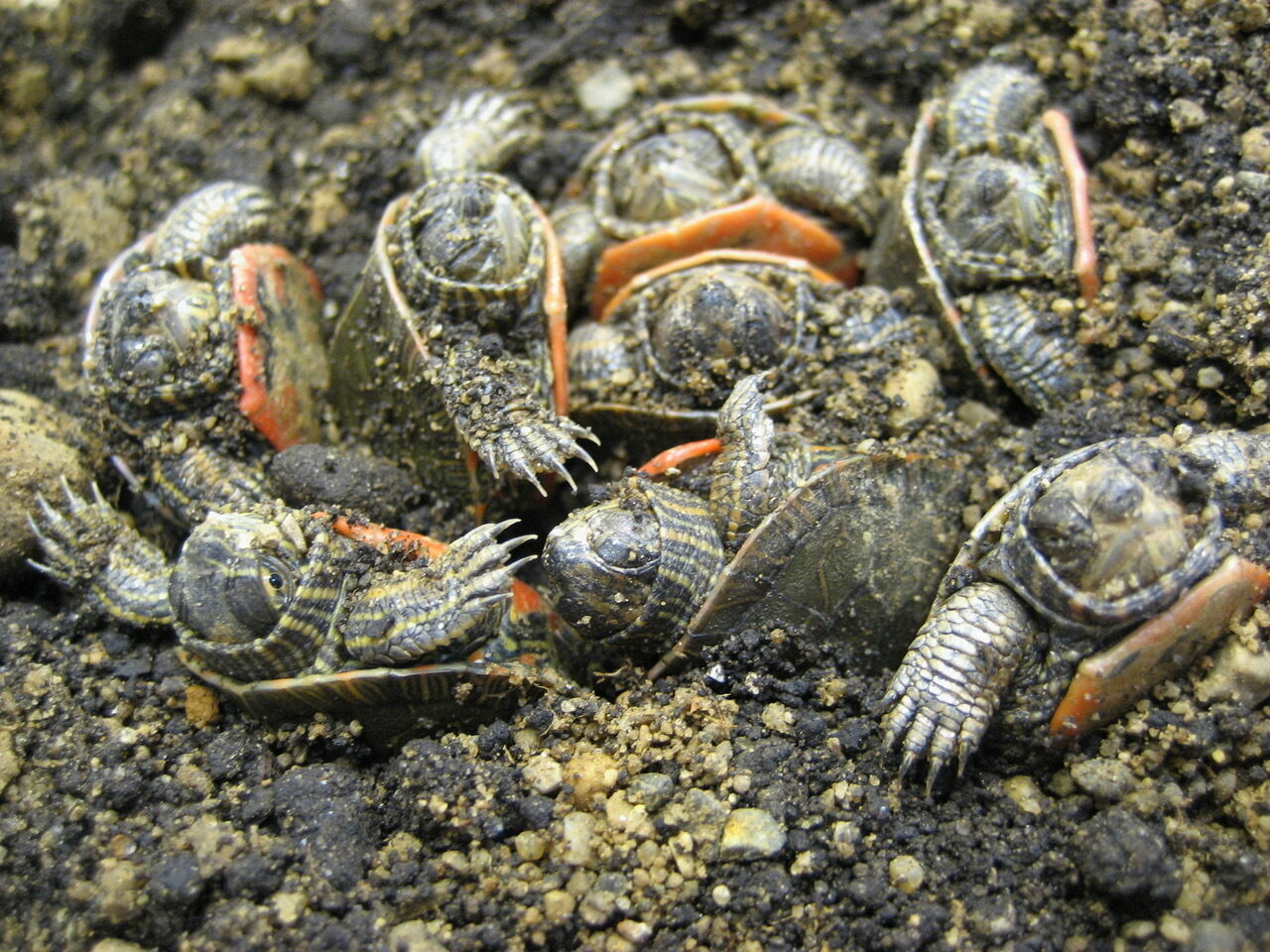Painted turtle hatchlings can spend a winter burrowed in the sand where they're born, and freeze tolerance helps them survive it.
