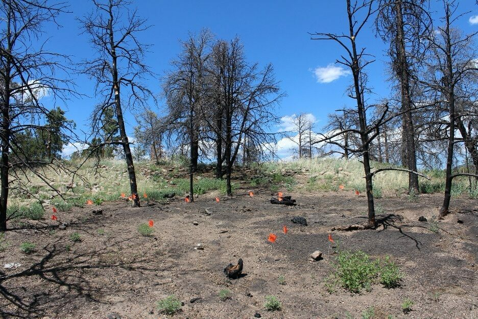 Orange pin flags indicate the location of ceramic pottery sherds collected for analysis after a prescribed burn in the Jemez Mountains of New Mexico in 2012.
