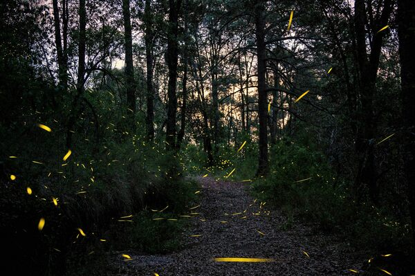 The 21st Century Might Not Be So Magical for Fireflies