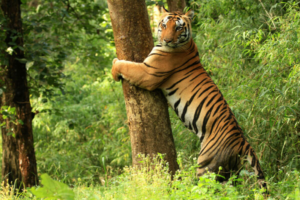 Picture - An Ancient 'Tiger God' Helps Communities and Big Cats Coexist in India