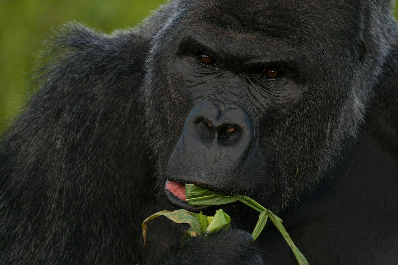 The western lowland gorilla's diet consists of leaves, some fruit ... and nuts, apparently.