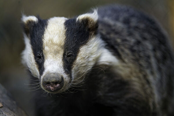 Tell City Indiana >> A 'Very Angry Badger' Wreaked Havoc in a 500-Year-Old ...