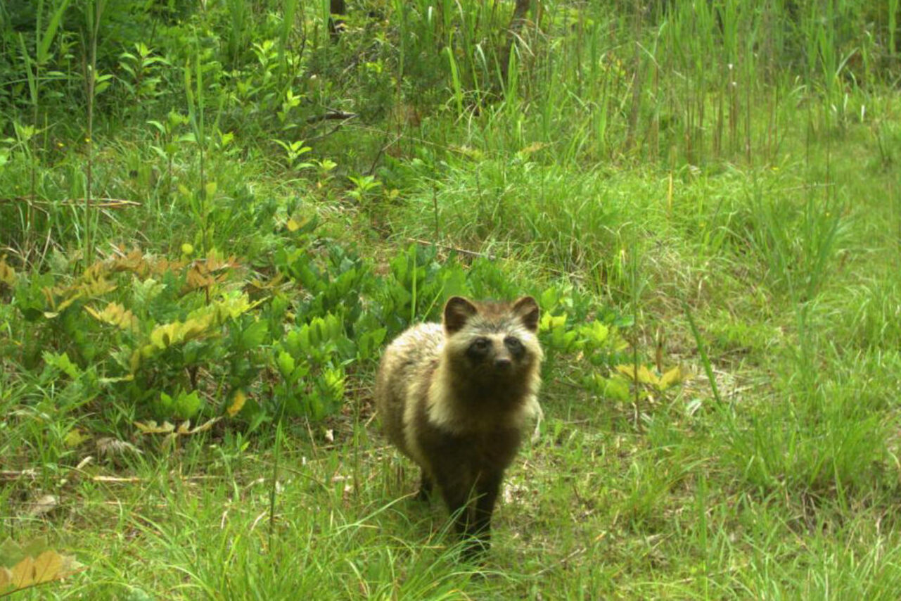Japan's charismatic raccoon dogs are back in business. Only wild boars are appearing in greater numbers.