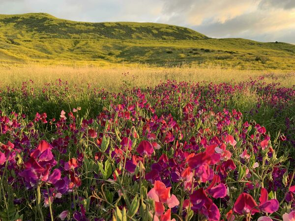 California's Wildflower Hotline Provides the Latest Scoop on Superblooms