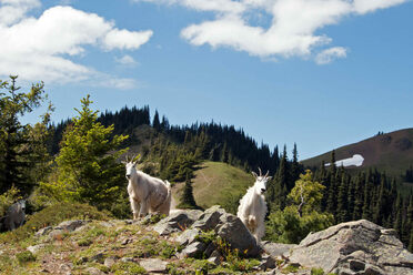 Goats at Hurricane Ridge in Olympic National Park.