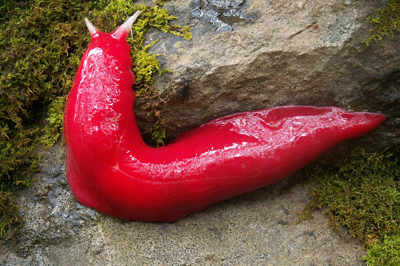 An Ancient Australian Volcano Is a Haven for Giant Pink Slugs
